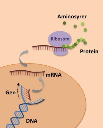 Hvordan lages ribosomer
