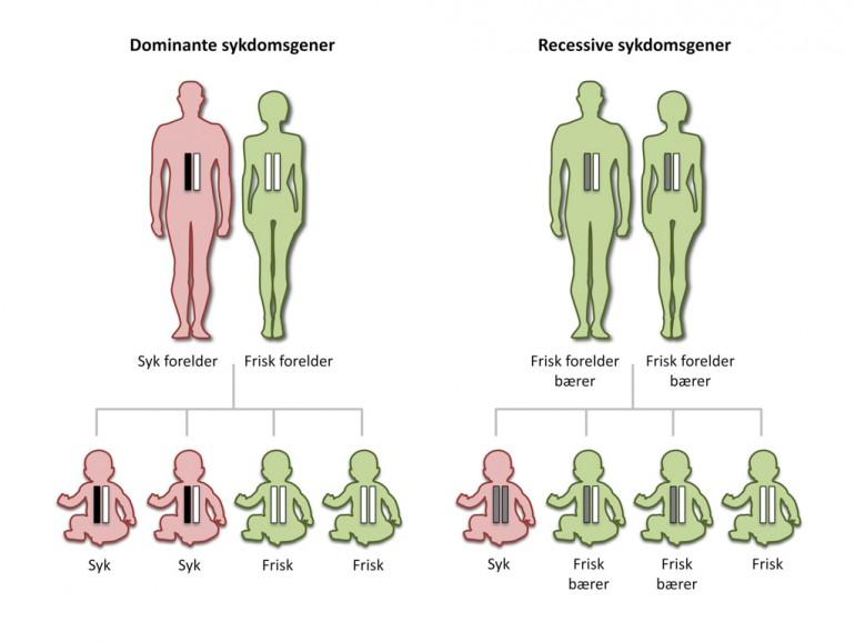 Figur 1. Barn arver ett kopi av hvert gen fra hver av foreldrene. Ved dominant arv vil barnet bli sykt dersom det arver sykdomsgenet fra én av foreldrene. Ved recessiv arv må barnet arve sykdomsgenet fra begge foreldrene for å bli sykt. Dersom barnet arver ett recessivt sykdomsgen, blir det bærer av sykdommen og kan føre det videre til sine egne barn. Figur: Sigrid Thoresen/Bioteknologirådet.