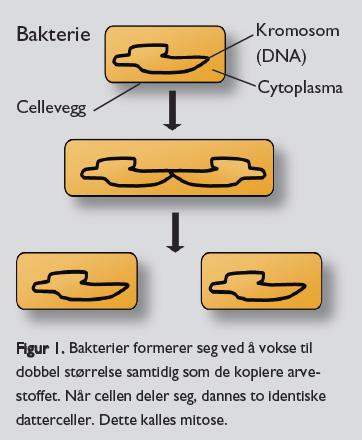 Celledeling hos bakterier