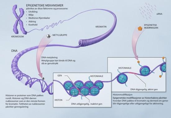 Figur, epigenetiske mekanismer