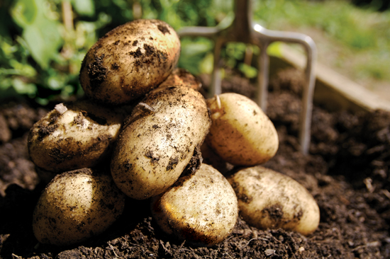 Dyrke poteter