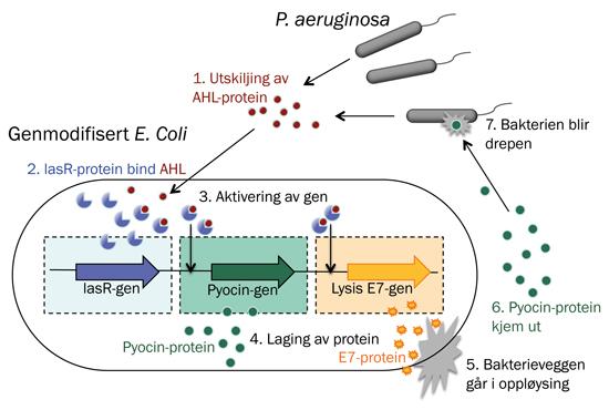 System for å oppdage og drepe bakteriar: P. aeruginosa skil ut AHL-protein for å kommunisere med andre bakteriar. Den genmodifiserte E. coli-bakterien produserer proteinet lasR, som bind seg til AHL. Når mange nok AHL-protein er bundne til lasR, blir genet som kodar for det bakteriedrepande proteinet pyocin, slått på. Samstundes blir genet som produserer proteinet E7, slått på. E7-proteinet gjer at E. coli-bakterien sjølv lyserer (går i oppløysing). Deretter strøymer pyocin ut i omgivnaden og tek knekken på P. aeruginosa.
