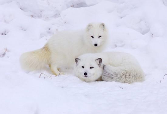 To fjellrever på Svalbard