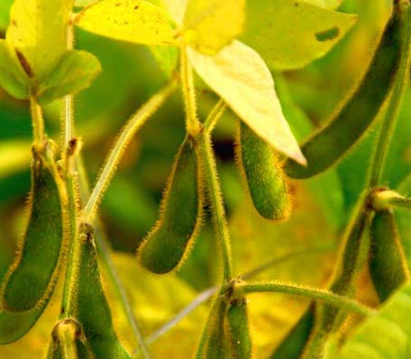 GMO eller ikke GMO – ny EU-studie om genredigering