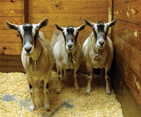 Tre geiter