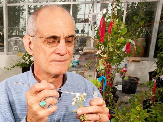 Gartner bestøver plommeblomster i drivhus