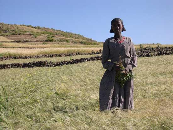 Etiopisk kvinne i teff-åker