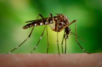 Homygg av arten Aedes aegypti som syg blod av eit menneske. Det er slik myggen spreier smitte. Foto: Centers for Disease Control and Prevention / James Gathany