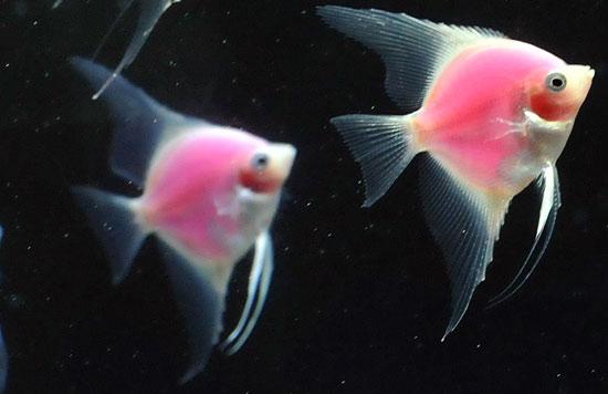 Rosa fisker av typen scalare