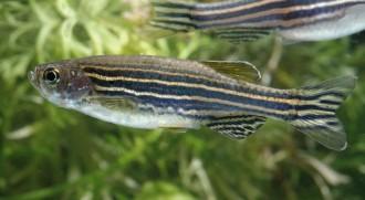 Vanlig sebrafisk