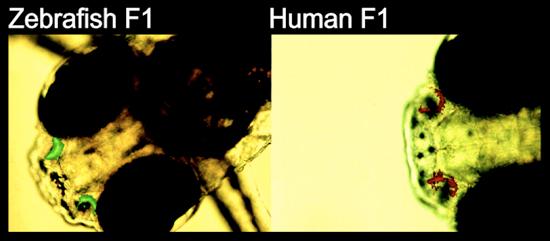 Mikroskopbilde av hodet til to yngel av sebrafisk