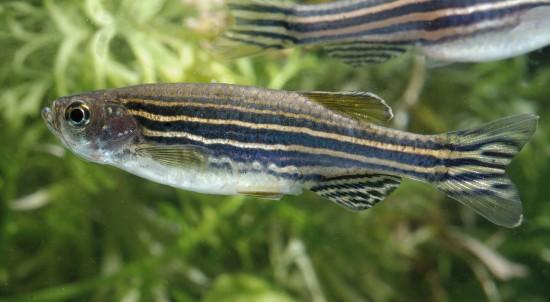 Sebrafisk i akvarium