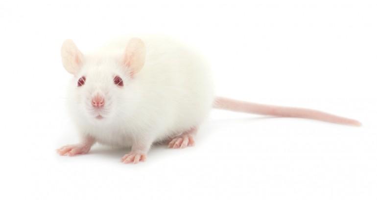 Hvit rotte