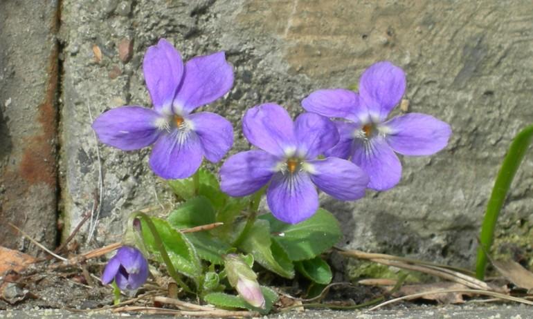Plante med grønne blader og tre fiolette blomster
