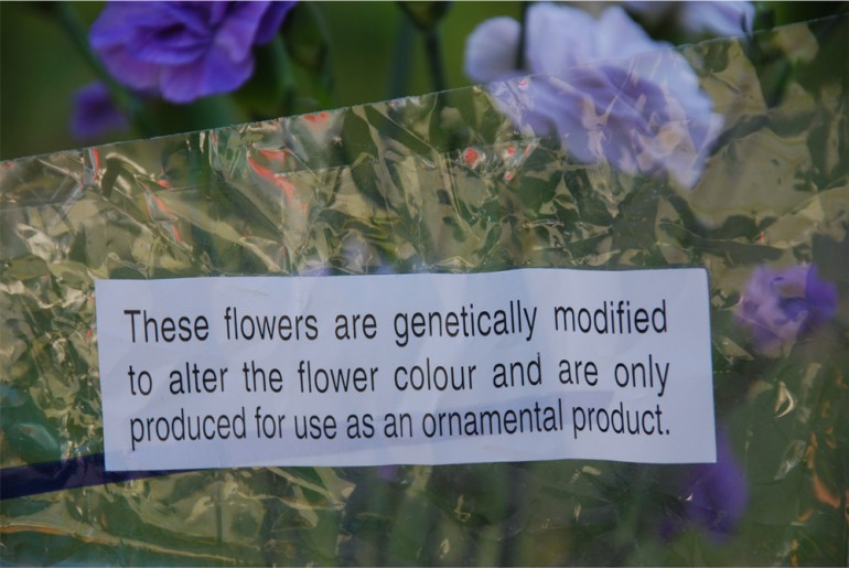 Lilla nellik med engelsk tekst som opplyser om at planten er genmodifisert