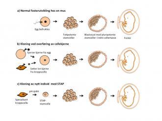 Grafisk fremstilling av: a) Normal fosterutvikling hos en mus. b) Kloning ved overføring av cellekjerne. c) Kloning av nytt individ med STAP.
