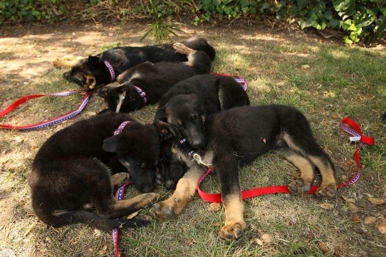Fem klona hundekvelpar