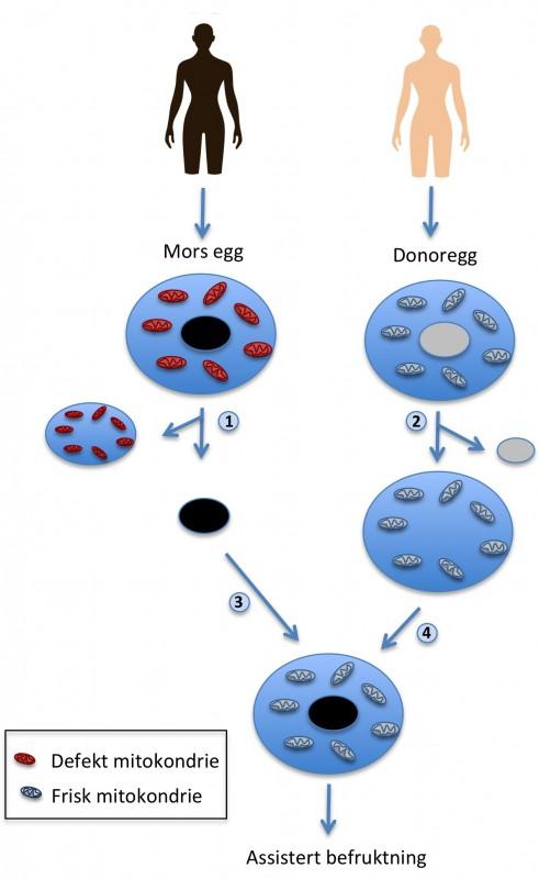 Figur som viser mitokondriedonasjon