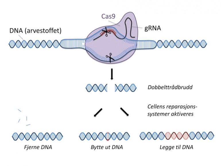 Figur som viser CRISPR/Cas9-metoden