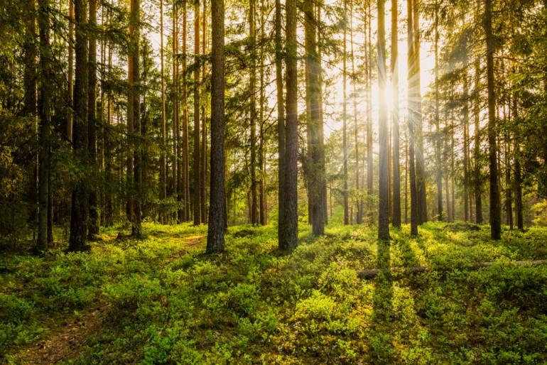 Skog i motlys