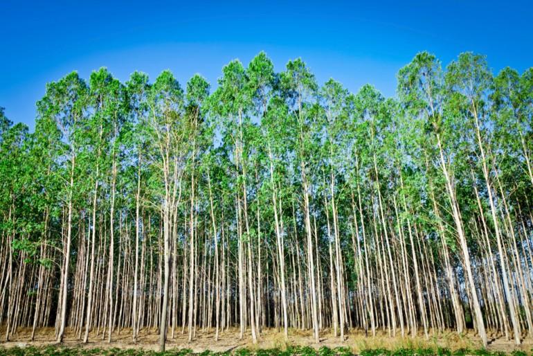 Eukalyptustrær