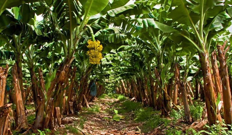 Bananplantasje