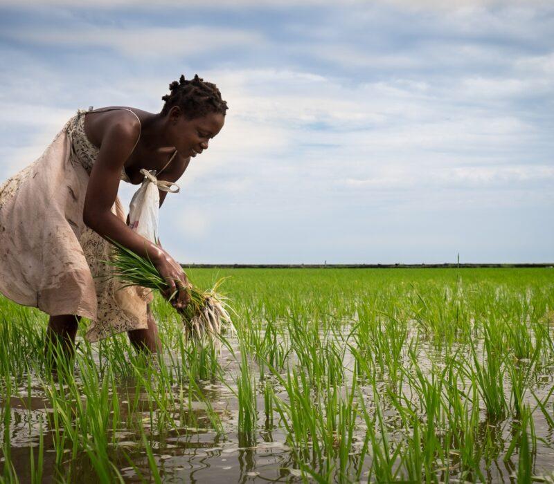 I GENialt: GMO i Afrika: før nå og i fremtiden