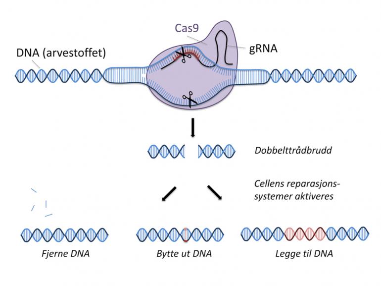 Med CRISPR kan man klippe og lime i DNA. Illustrasjon: Bioteknologirådet.