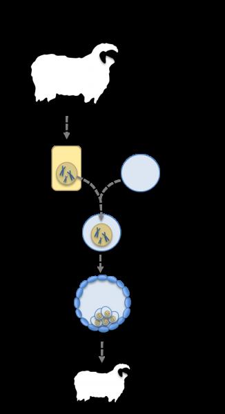 illustrasjon kloning