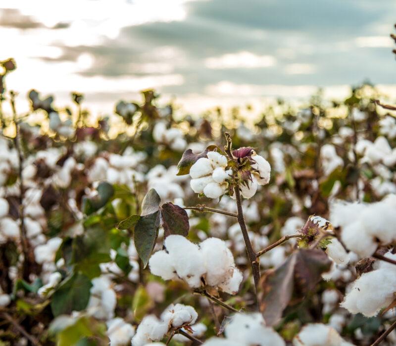 I GENialt: Bomullsfrø blir spiselige