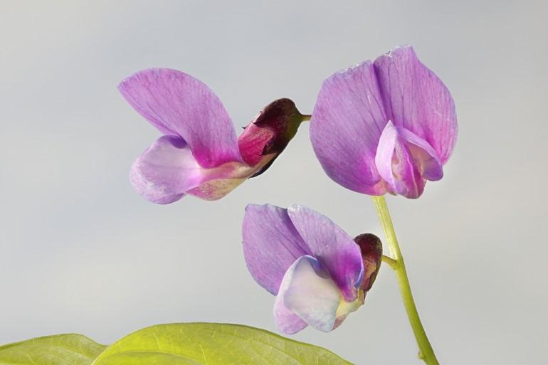 Bilde av rosa-lilla erteblomst