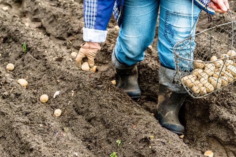 Bonde som setter poteter
