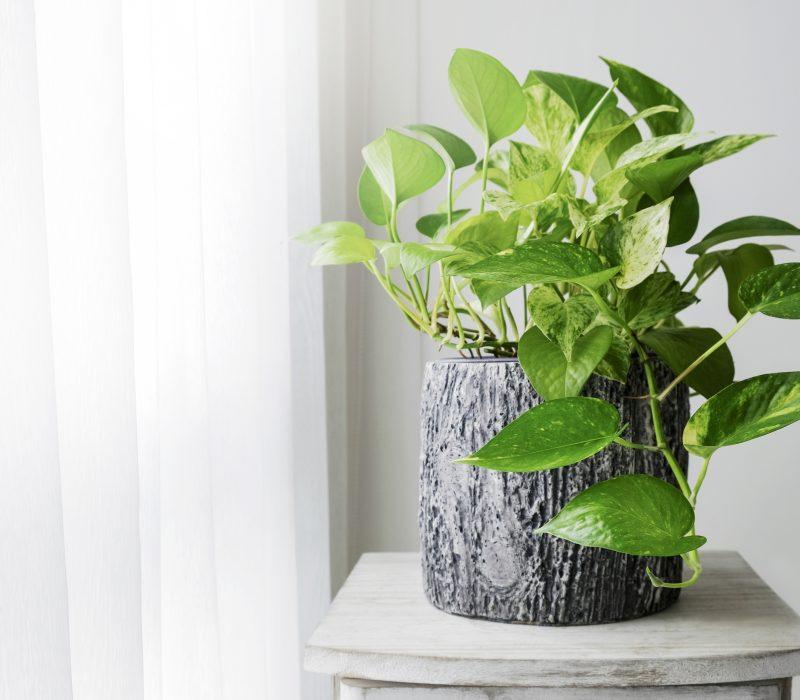 Potteplanten som ble luftrenser