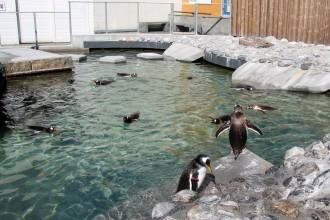 Fotografi av pingviner som bader ved Akvariet i Bergen
