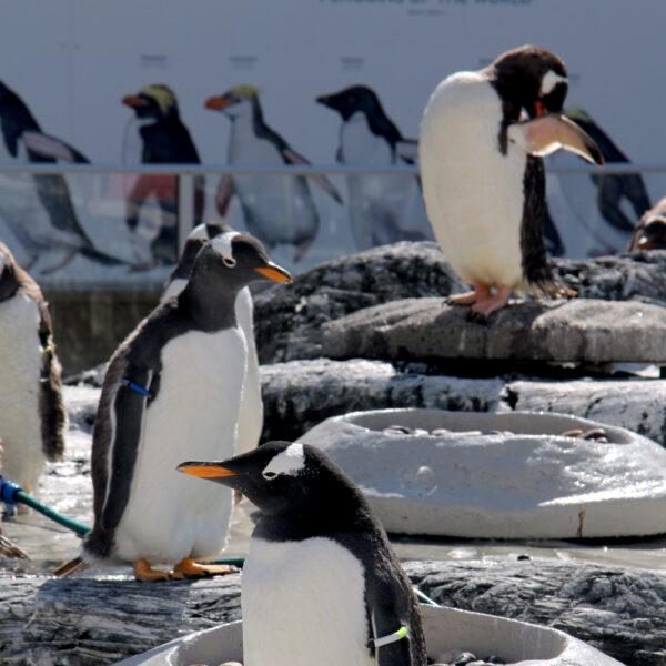 I GENialt: Nye pingviner – nye gener