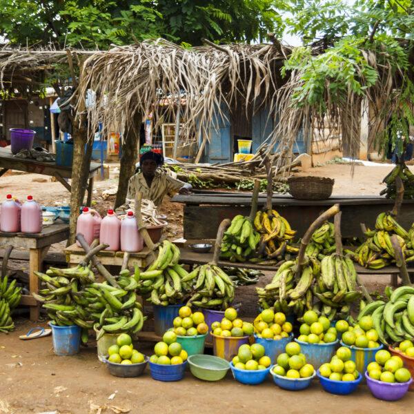I GENialt: Genredigerte bananer – fremtiden for afrikanske bønder?