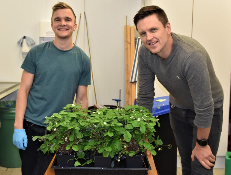 Bilde av forsker Tage Thorstensen og masterstudent Oskar Schnedler Bjorå har genredigert markjordbær som de gjør forsøk på.