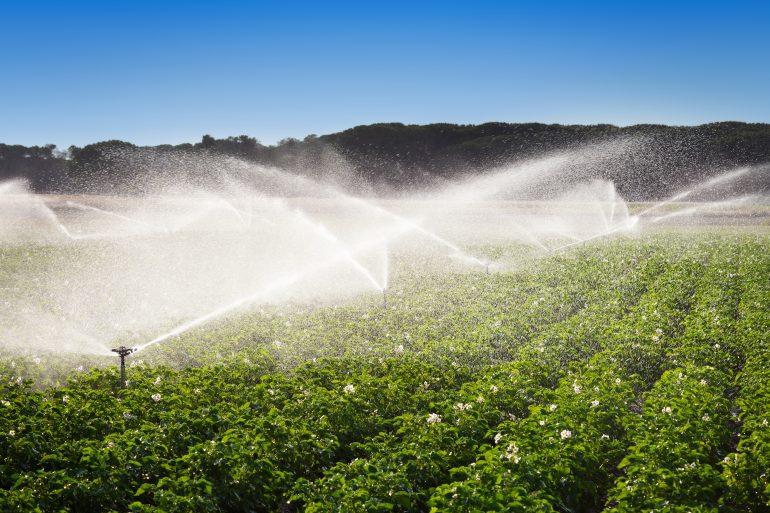 potetplanter som vannes