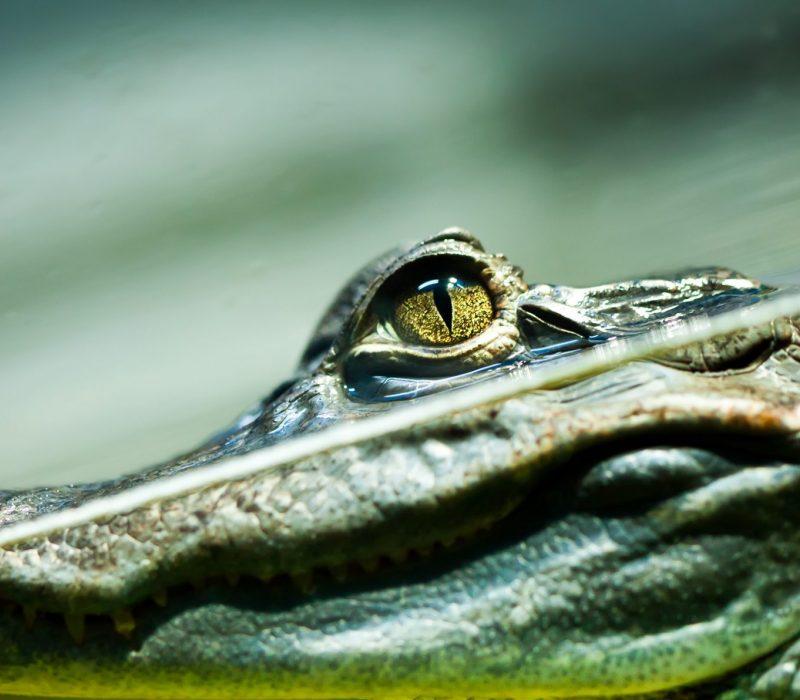 I GENialt: Tårevåte miniorganer og krokodilletårer